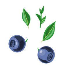 blueberries and leaves vector image