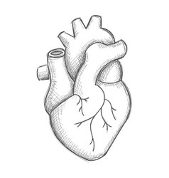 Hand draw human heart sketch vector