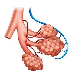 Human alveoli vector image vector image