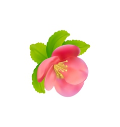 Flower of Japanese Quince Chaenomeles japonica vector