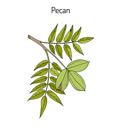 Pecan carya illinoinensis nuts with leaves vector
