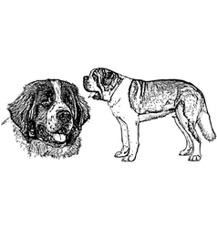 Saint bernard dog vector