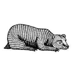 the grizzly bear is resting brown wild animal vector image