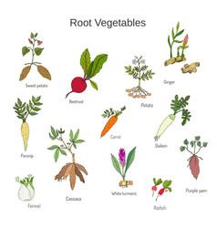 vintage hand drawn root vegetables set vector image