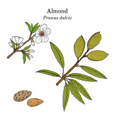 medicinal and kitchen plant almond prunus dulcis vector image