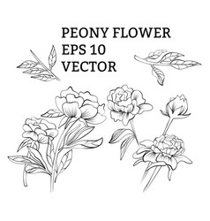 set of peony flowers in on white background vector image