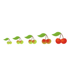 Cherry fruit ripeness stages chart colour and vector