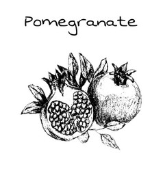 Hand drawn vintage isolated pomegranate vector