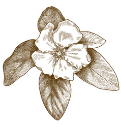 Engraving quince flower vector