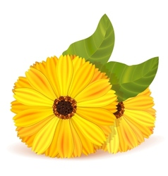 Flowers of marigold with leaves vector