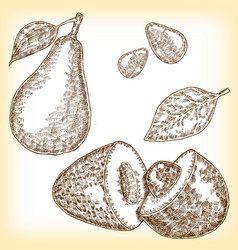 detailed hand drawn fruit avocado vector image