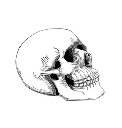 hand drawn sketch of skull in black isolated vector image