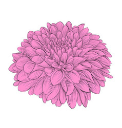 Beautiful flower dahlia isolated on background vector