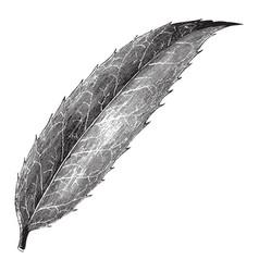 leaf of ilex dipyrena vintage vector image