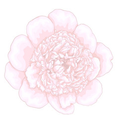 Beautiful pink peony isolated on white background vector