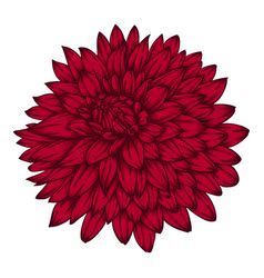 beautiful pink dahlia isolated on white background vector image