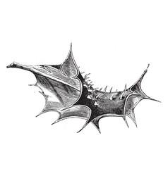 leaf of ilex aquifolium ferox vintage vector image