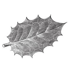 leaf of ilex aquifolium ovata vintage vector image