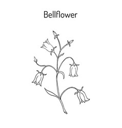peach-leaved bellflower campanula persicifolia vector image