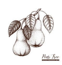 Pear vintage sketch vector