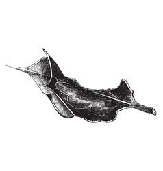 leaf of ilex aquifolium tortuosa vintage vector image