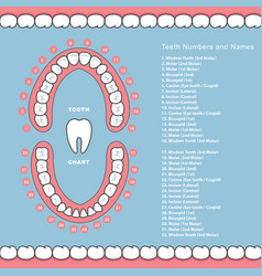 Tooth chart with names - dental infographics vector