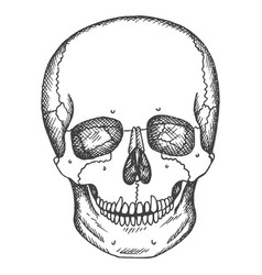 Human skull sketch isolated vector