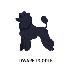 Dwarf or miniature poodle small purebred vector