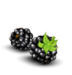 blackberries on a white background vector image vector image