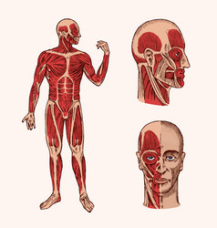 Human anatomy muscular and bone system vector