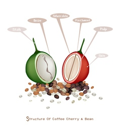Structure of Ripe and Unripe Coffee Berries vector
