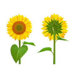 sunflowers realistic summer botanical floral vector image