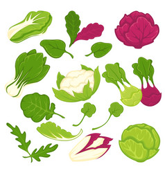 lettuce salads leafy vegetables isolated vector image