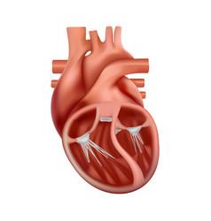 3d anatomy human heart anatomically vector