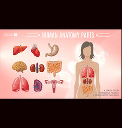 cartoon human anatomy bright template vector image