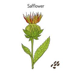 Safflower carthamus tinctorius oil plant vector
