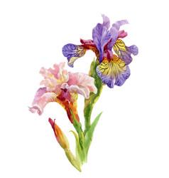 Hand drawn iris flowers on white background vector