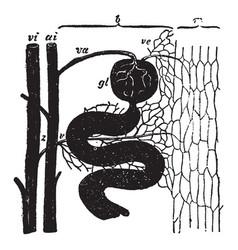 Kidney circulation vintage vector