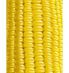 Ripe corn illustration vector