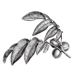 fruiting branch juglans regia vintage vector image