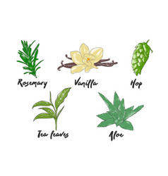Engraved style herbs and spices collection vector