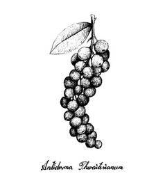 Hand drawn of antidesma thwaitesianum fruits on wh vector