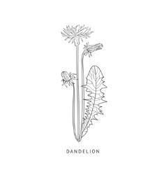 Dandelion Hand Drawn Realistic Sketch vector