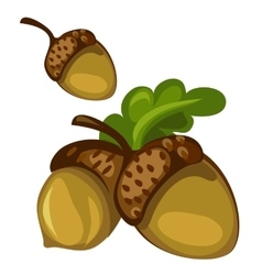 Acorn closeup on white background vector image