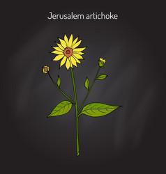 jerusalem artichoke or sunroot sunchoke earth vector image