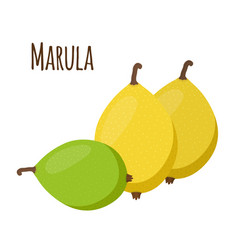 Marula exotic fruit fresh vegetarian nutrition vector