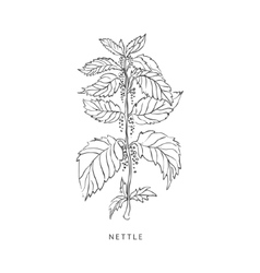 Nettle Hand Drawn Realistic Sketch vector image