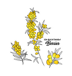 sea buckthorn branches hand drawn vector image