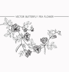 butterfly pea flower drawing vector image