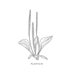 Plantain Hand Drawn Realistic Sketch vector image